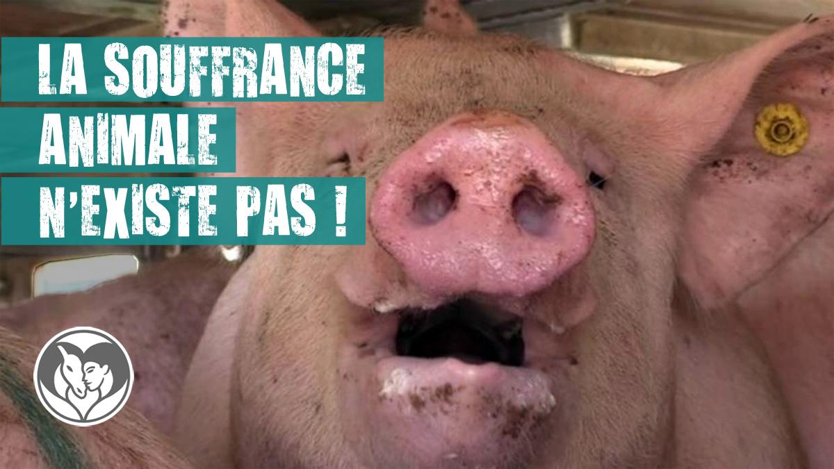 Photo d'un cochon souffrant de stress thermique