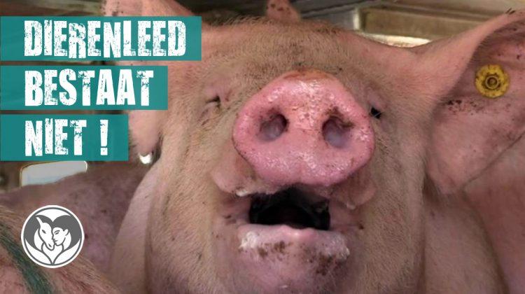 Foto van een varken dat lijdt aan hittestress